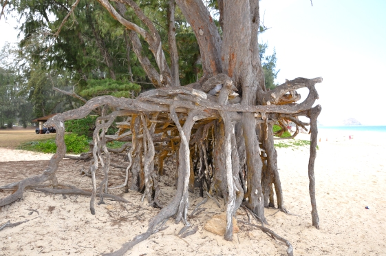 Neat_tree_roots_at_Bellows_Beach_Park_-_Oahu_-_Hawaiian_Islands_-_Hawaii,_USA.jpg