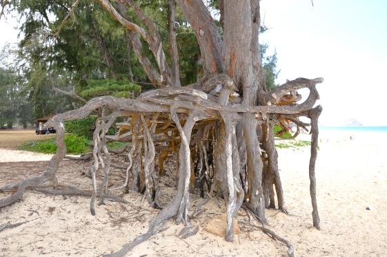 Neat_tree_roots_at_Bellows_Beach_Park_-_Oahu_-_Hawaiian_Islands_-_Hawaii,_USA.jpg